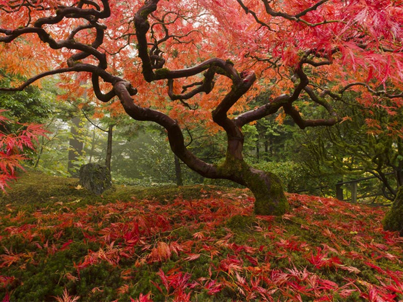 Japanese Maple in the Fall Wall Mural
