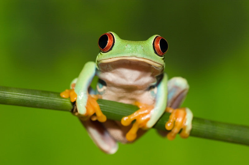 Red Eyed Tree Frog on Branch Wall Mural