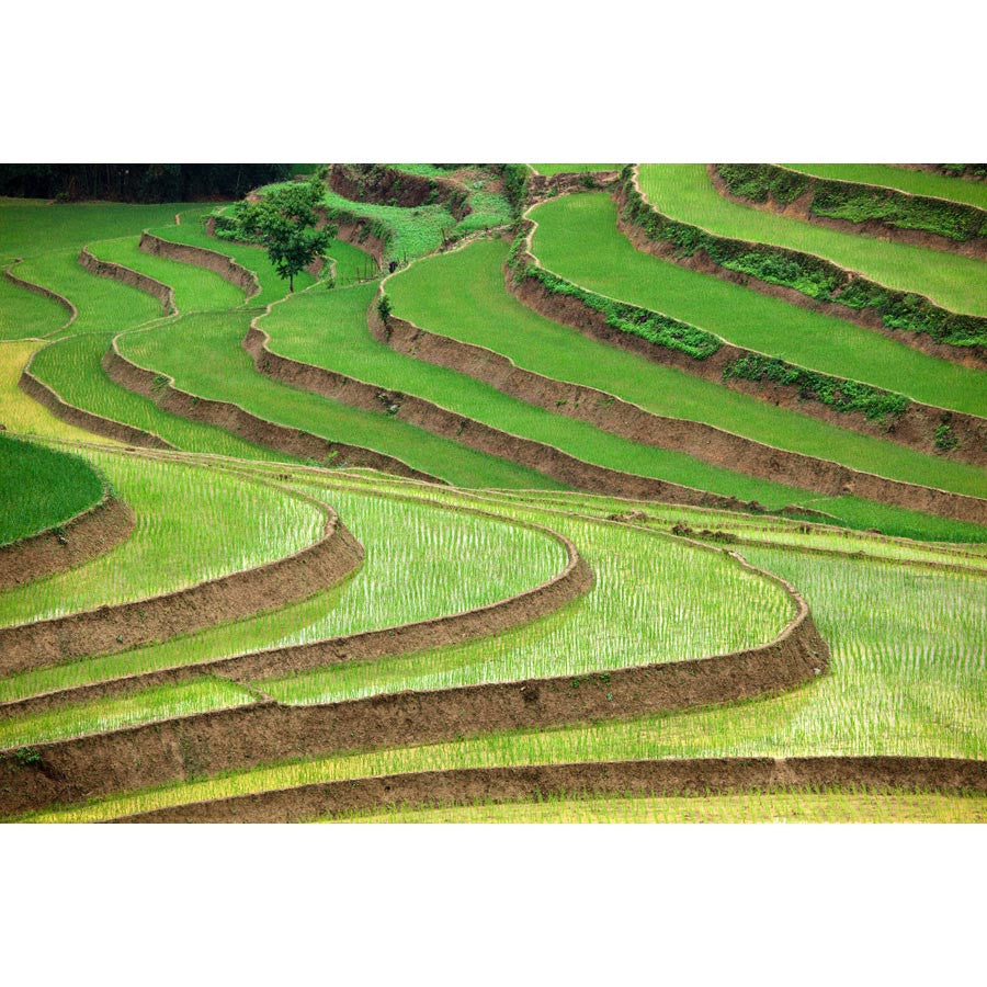 Rice Paddy Wall Mural