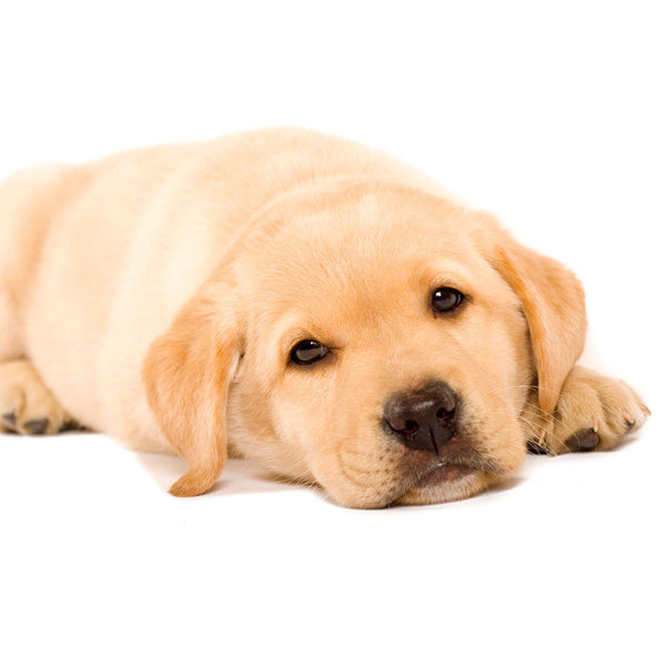 Sleepy Labrador Puppy Wall Mural