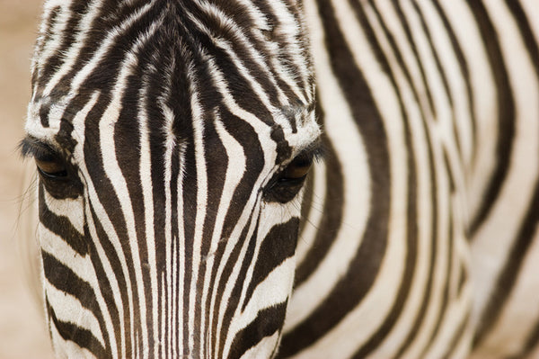 Zebra Close Up Wall Mural