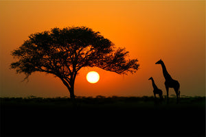 Acacia Tree at Sunset with Giraffes Wall Mural
