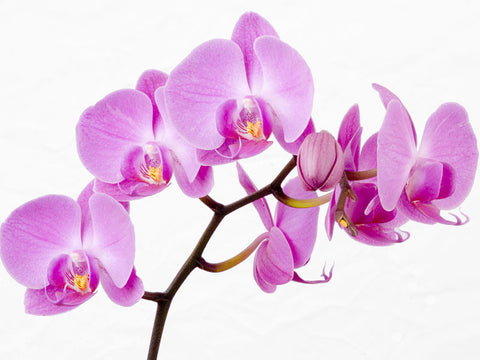 Beautiful Orchid Wall Mural