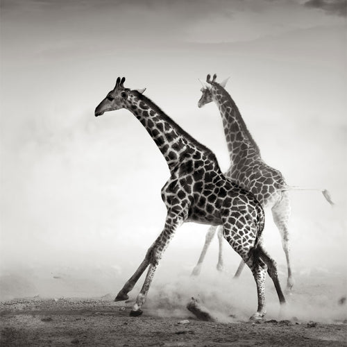 Black and White Giraffes on the Run Wall Mural