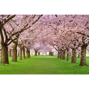 Rows of Beautifully Blossoming Cherry Trees Wall Mural