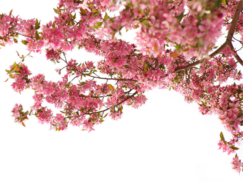 Cherryblossom in Spring Wall Mural