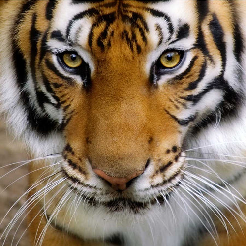 Close Up of Tigers Face Wall Mural