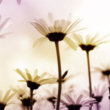 Load image into Gallery viewer, Daisies Nature Wall Mural
