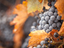 Load image into Gallery viewer, Lush Ripe Wine Grapes with Mist Drops Wall Mural