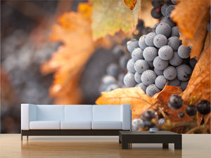 Lush Ripe Wine Grapes with Mist Drops Wall Mural