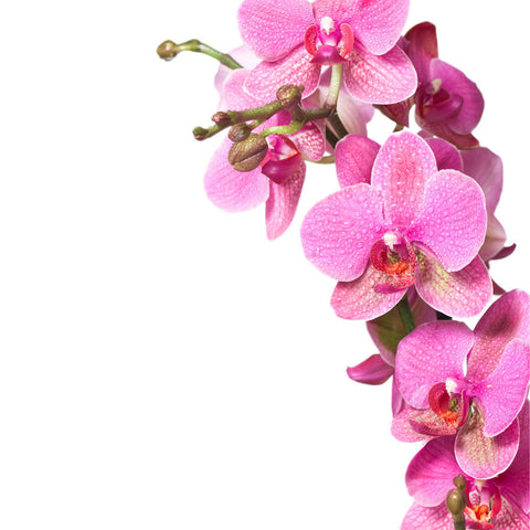 Pink Orchid Wall Mural