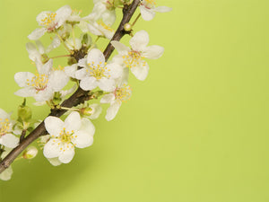 Plum Blossoms Wall Mural