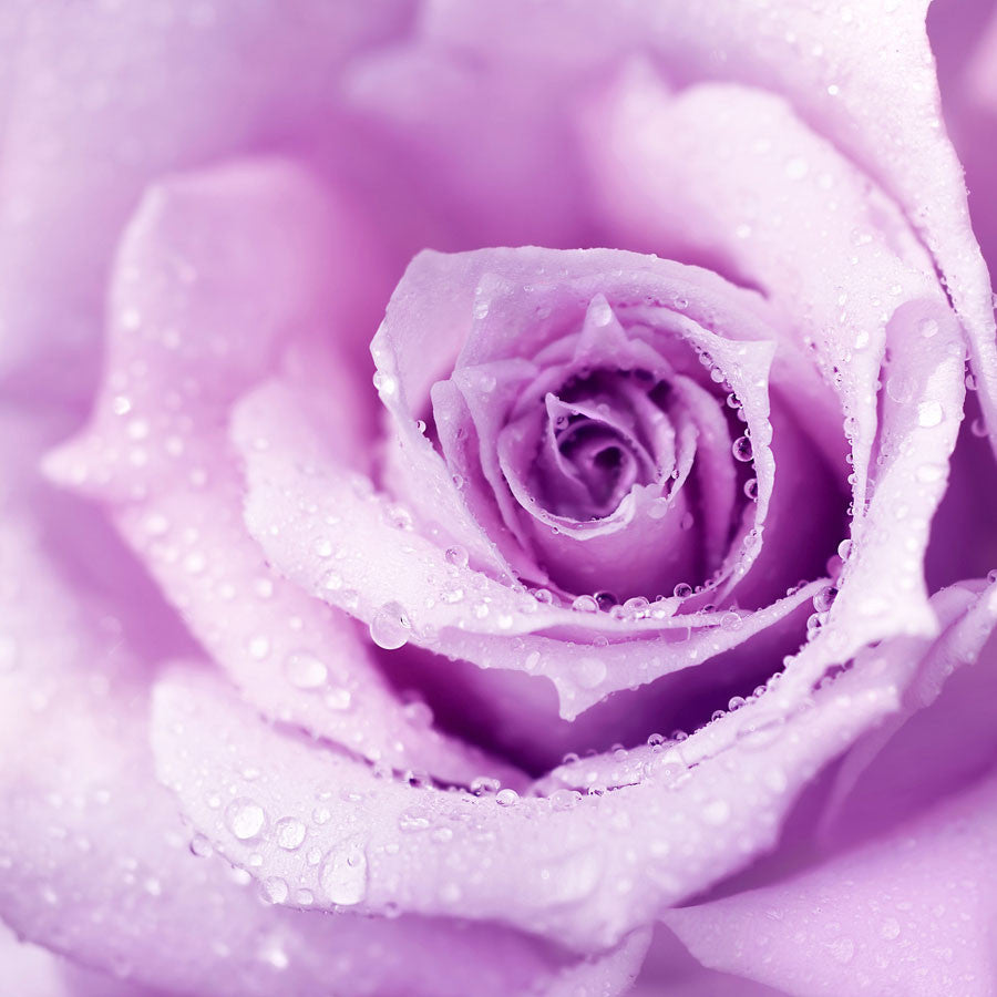 Purple Wet Rose Wall Mural