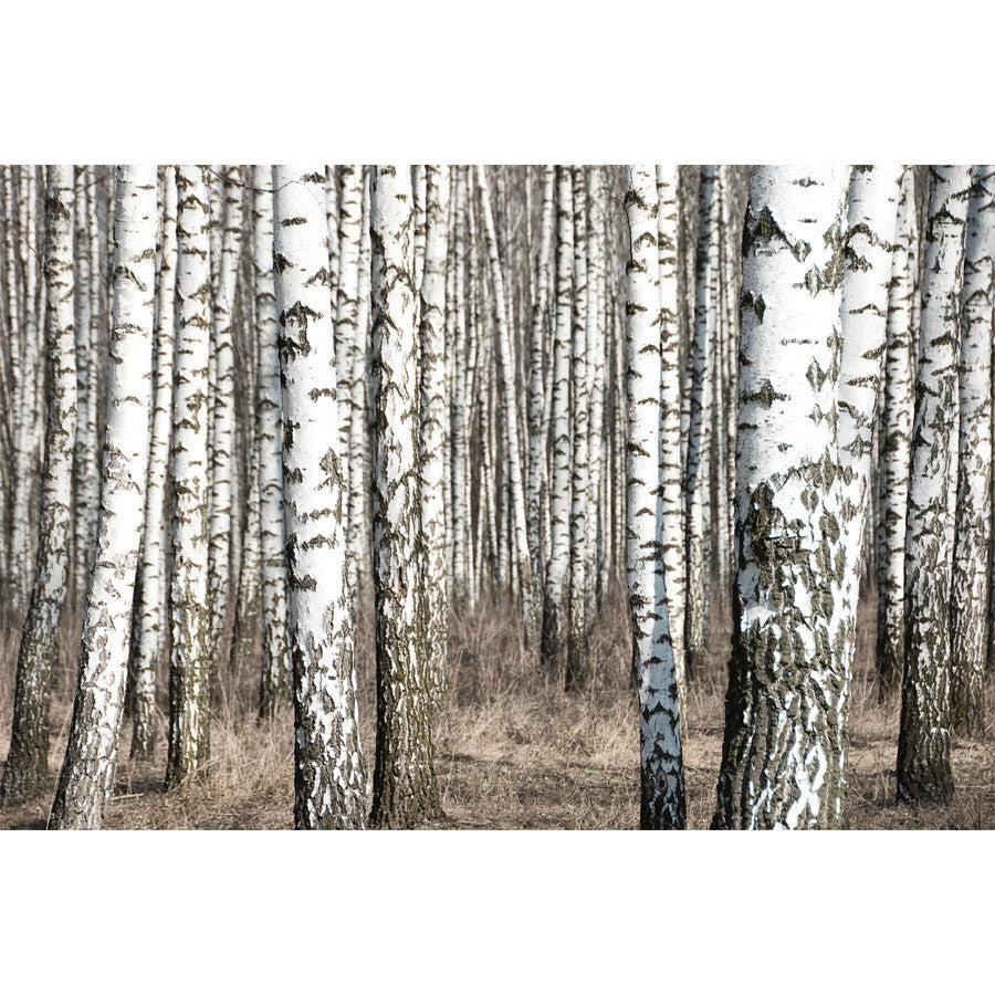 Birch Trunks Wall Mural
