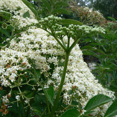 Plenty of Flowers on your Elderberry but no Fruit?