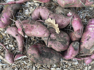 Blogging, winter, an excuse and my first sweet potato harvest
