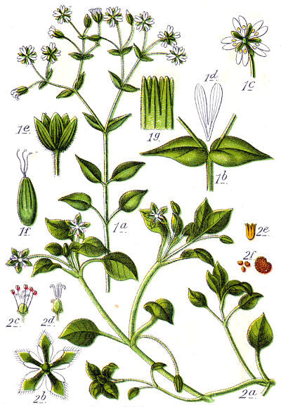 stellaria media, chickweed, botanical drawing