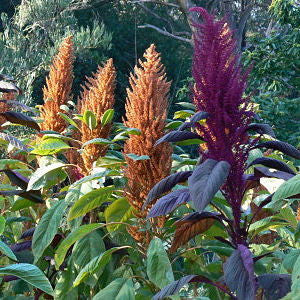 Gorgeous Amaranth