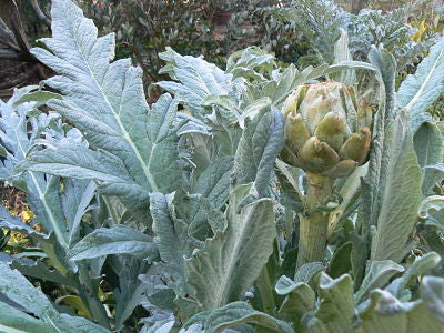 Artichoke Leaf Tea - Easily Grown in Your Own Garden!
