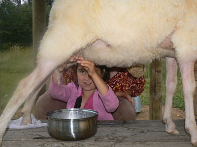 kids trying to milk the sheep