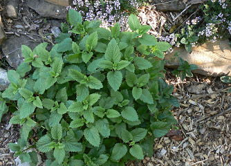 lemon balm for smudging