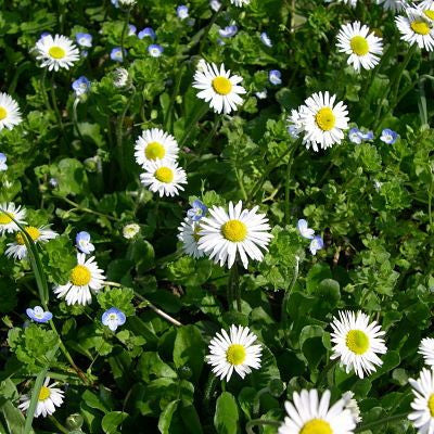bellis perennis, English daisy