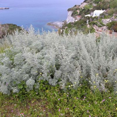 tree wormwood
