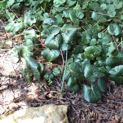 canadian wild ginger, asarum canadense