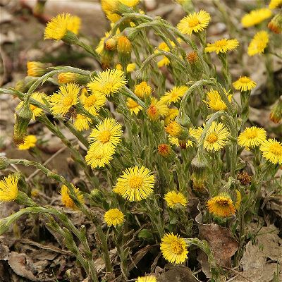 coltsfoot for colds