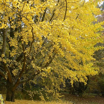 ginkgo at MT Tomah