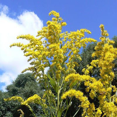 Canadian Goldenrod. Solidago Canadensis
