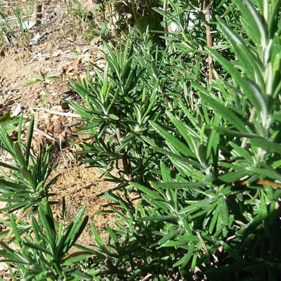 rosemary official, plant
