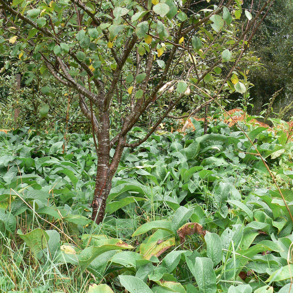 russian comfrey orchard