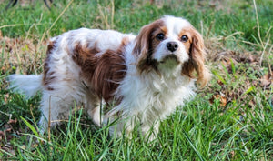 9 CAVALIER KING CHARLES SPANIELS THAT NEED FUREVER HOMES