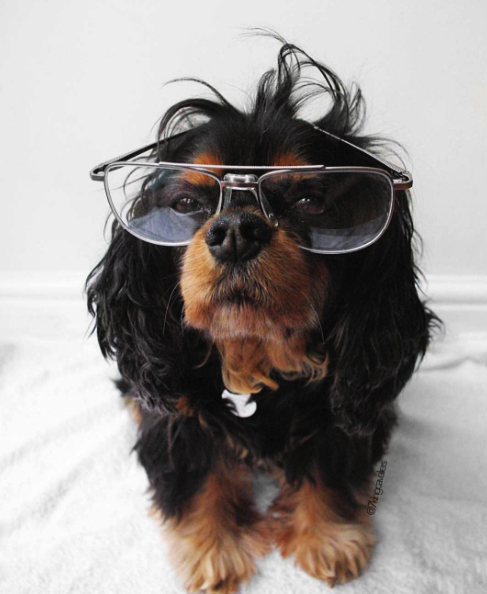 11 REASONS THE CAVALIER KING CHARLES SPANIEL IS THE BEST BREED EVERRRR