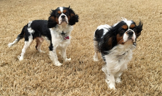 10 CAVALIER KING CHARLES SPANIELS THAT NEED FUREVER HOMES