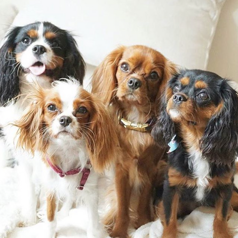 8 facts every cavalier king charles lover needs to know cavlife 1 theyve got a brand new claim to fame kind of feel like any cav lover could have told the world this without a research team but thecheapjerseys Images