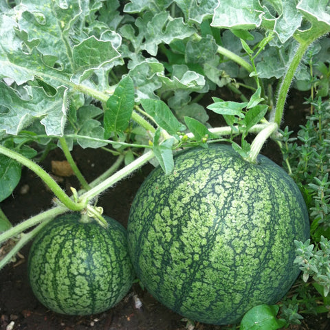 watermelon, on the vine, ripe, growing
