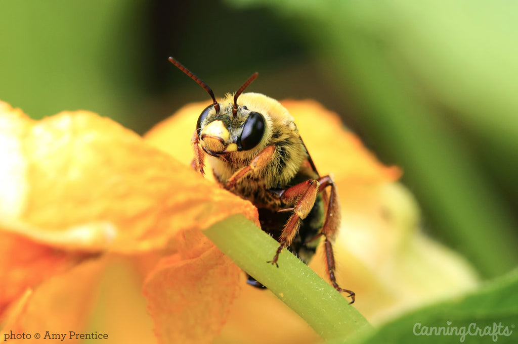 Native bee on squash flower | CanningCrafts.com