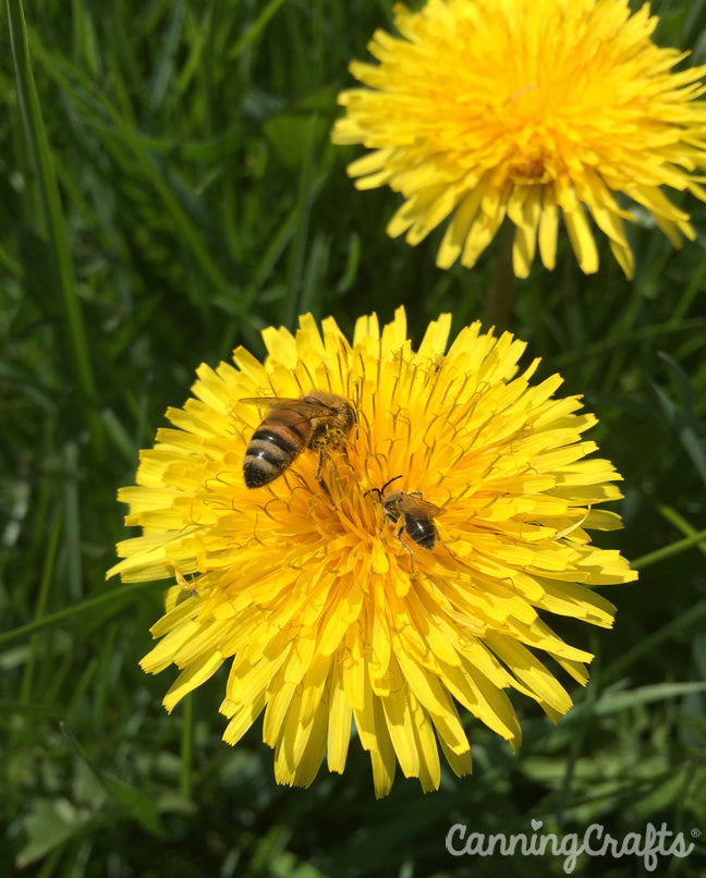 Dandelions and honey bees | CanningCrafts.com