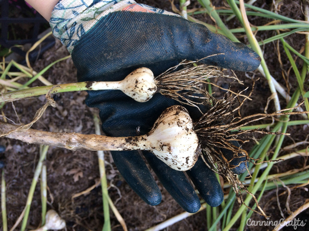 CanningCrafts garden 2018: Garlic
