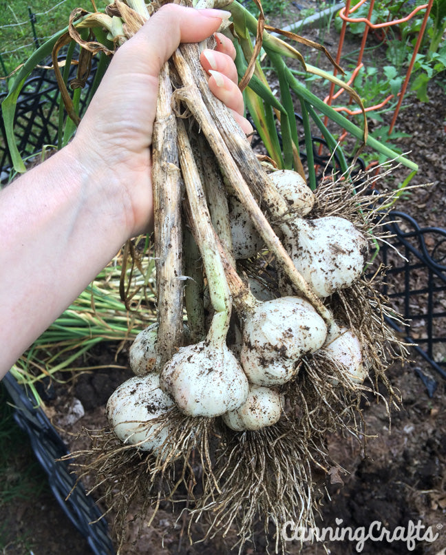 CanningCrafts garden 2018: Soft neck Garlic