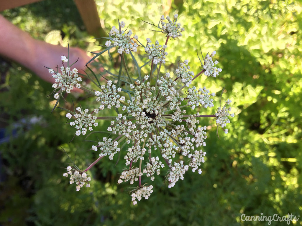 CanningCrafts garden 2018: Carrots Flowered First Year