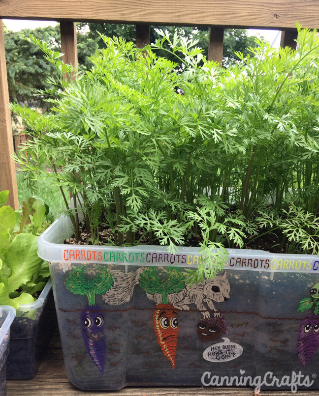 CanningCrafts garden 2018: Growing Carrots in a Container