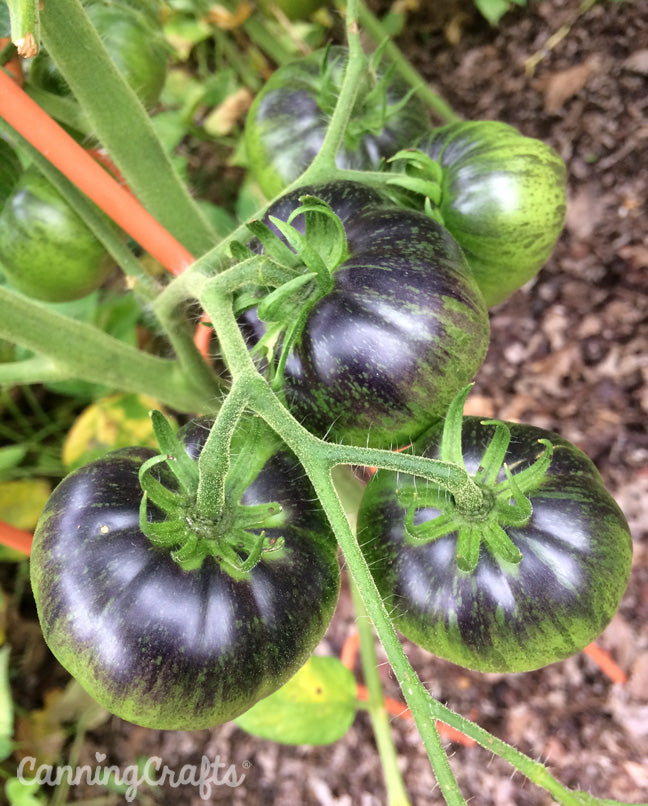 CanningCrafts garden 2018: Dark Galaxy heirloom tomatoes