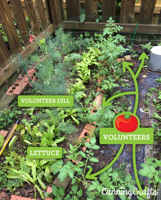 CanningCrafts garden 2018: Volunteer Tomatoes