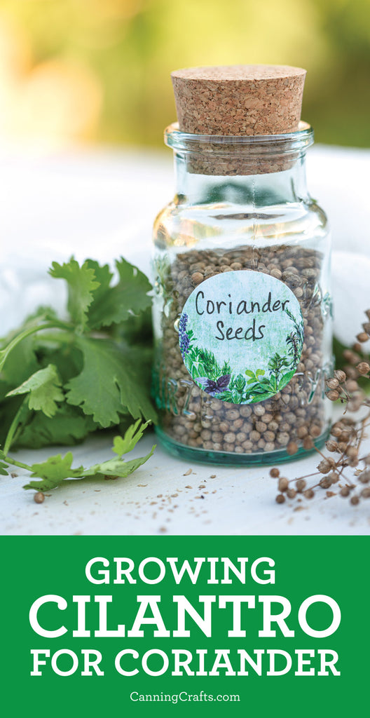 Growing Cilantro for Coriander Seeds | CanningCrafts.com