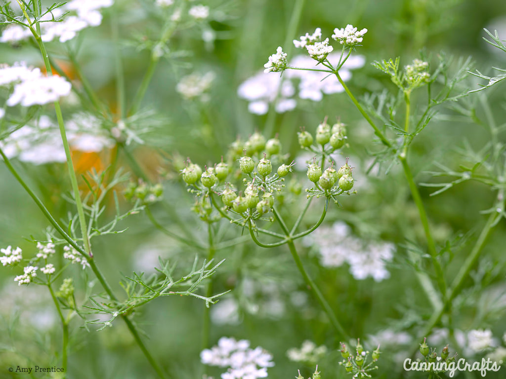 Coriander Seed Pods & Flowers | CanningCrafts.com
