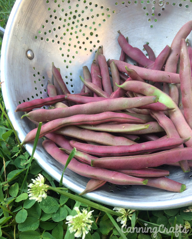 Garden 2019: Red Swan Green Beans | CanningCrafts.com