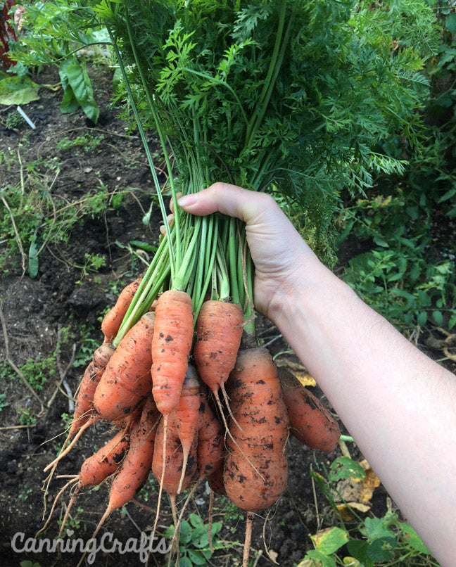 Planting Carrots in Containers with Homemade Potting Soil